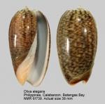 Oliva elegans