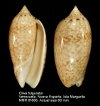 Olividae