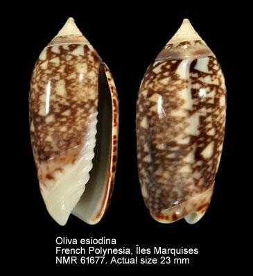 Oliva jaspidea