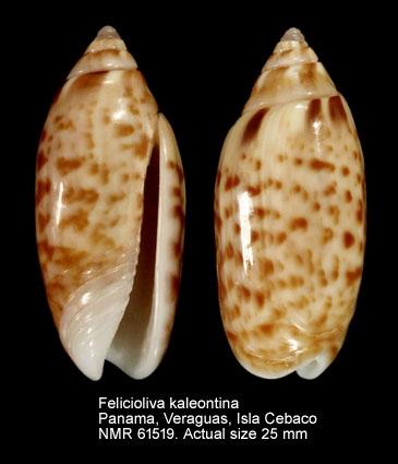 Felicioliva kaleontina