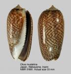 Oliva mustelina