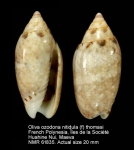 Oliva ozodona nitidula