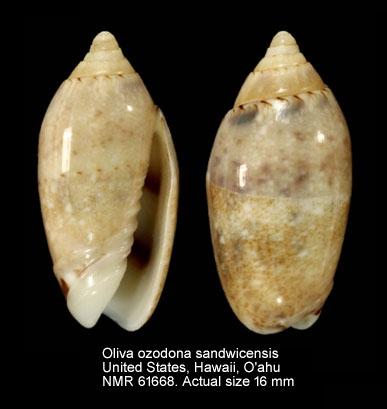 Omogymna sandwicensis