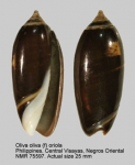 Oliva oliva