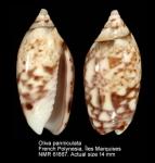 Oliva panniculata