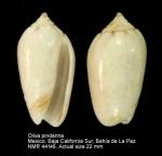 Oliva pindarina