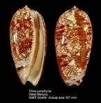Oliva porphyria