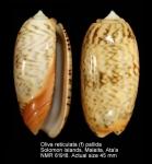 Oliva reticulata