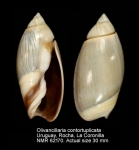 Olivancillaria contortuplicata