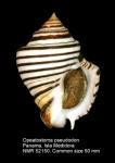 Opeatostoma pseudodon