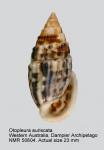 Otopleura auriscati