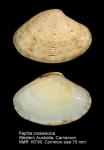 Paphia crassisulca