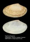Paphia philippiana