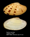 Paphia rotundata