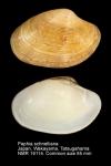 Paphia schnelliana
