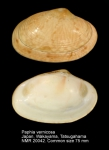 Paphia vernicosa