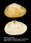 Paphies australis