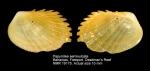 Papyridea semisulcata