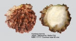 Hyotissa inermis
