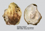 Hyotissa numisma