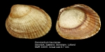 Parvicardium hauniense