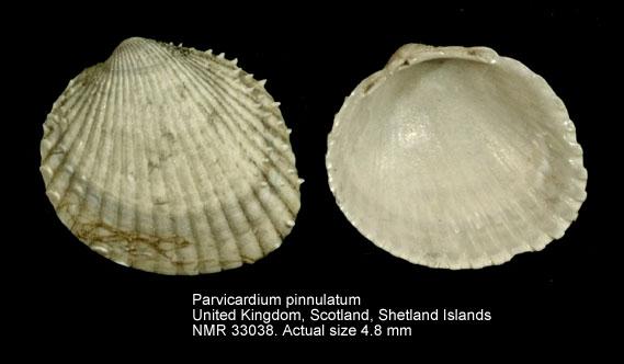Parvicardium pinnulatum