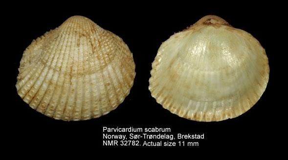 Parvicardium scabrum