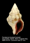Peristernia forskalii