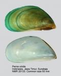 Perna viridis