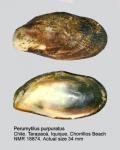 Perumytilus purpuratus