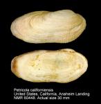 Petricola californiensis