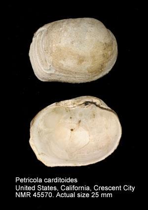Petricola carditoides