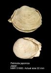 Petricola japonica