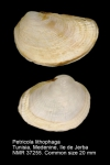 Petricola lithophaga
