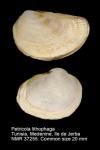 Petricola lithophaga