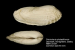 Petricolaria pholadiformis