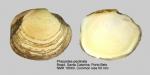 Phacoides pectinata