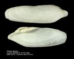 Pholas dactylus