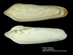 Pholadidae