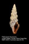 Pseudomelatomidae