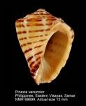 Pinaxia versicolor