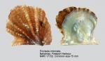 Pteriidae