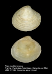 Pitar mediterraneus