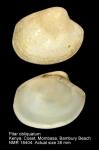 Pitar obliquatus