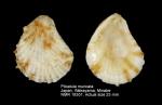 Plicatula muricata