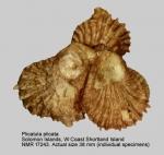 Plicatula plicata