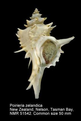 Poirieria zelandica