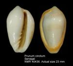 Prunum cinctum