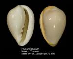 Prunum labiatum