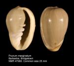 Prunum marginatum